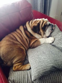 English Bulldog sleeping soundly…just like Schmedley
