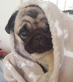 Baby brown pug under a fuzzy blanket!