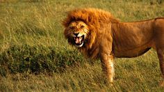 Free Download 2015 Lion HD Wallpapers 1080p