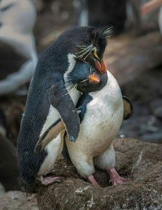 Penguin Love, Cute Penguins, Wild Animals Photography, Wildlife Photography, Most Beautiful Birds, Animals Beautiful, Cute Baby Animals, Animals And Pets, Galapagos Penguin