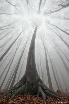 The lines of the trees and the angle of the shot create a very surreal image, which is very interesting. The Surreal Forest, Romania Beautiful World, Beautiful Places, Beautiful Pictures, Amazing Places, Forest Photography, Art Photography, Landscape Photography, Amazing Photography, Perspective Photography