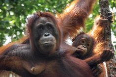 travel photography - hungry orangutan baby in borneo indonesia Borneo Orangutan, Baby Orangutan, Ape Monkey, List Of Animals, Animal Species, Photography For Beginners, Primates, Asia Travel, Continents