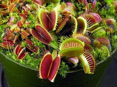 Las más misteriosas: las plantas carnívoras http://www.madridcode.com/2016/11/04/las-mas-misteriosas-las-plantas-carnivoras/