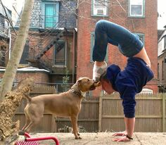 wellbeyondmars:  #Asana of the Week: Handstand (scorpion variation) Oh hello there dog.  Thanks for the bone.