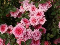¡Faltan 3 días para el Día de las Madres! Mantén tus #rosas hermosas para mamá con Miracle Gro.