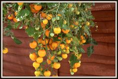 tips for growing hanging tomatoes