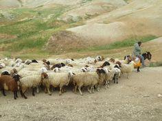 Sheep of biblical Isreal   Sheep Israel