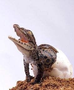 This baby crocodile looks pretty relieved to get out of that egg!