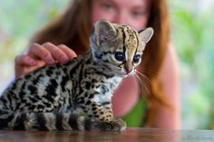 A clouded leopard cub with huge eyes sitting on a table.