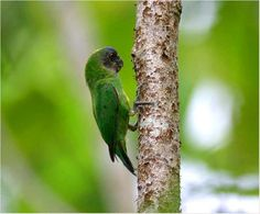 Geelvink Pygmy-parrot from Papua, East Indonesia.
