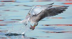 https://flic.kr/p/6BgNVX | #459 燕鷗美力 | 鳳頭燕鷗.攝於台灣 宜蘭縣 大溪漁港 Creasted Tern,Creasted Tern, taken at Dasi-Fishery-Harbor, E-land County, TAIWAN