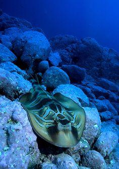 Conocida como tiburón banjo, esta raya (Trygonorrhina fasciata) habita las costas rocosas del sur de Australia