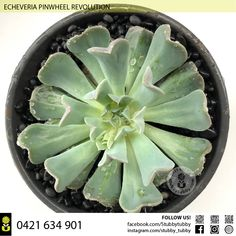 Quality succulents, cacti and houseplants for sale - Adelaide, SA, Australia