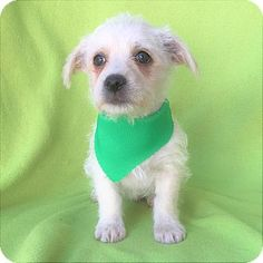 Burbank, CA - Terrier (Unknown Type, Small) Mix. Meet Hank Terrier Pup, a puppy for adoption. http://www.adoptapet.com/pet/17773047-burbank-california-terrier-unknown-type-small-mix