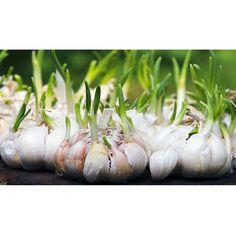 ¡Cultivar ajos en tu huerta es muy fácil!: Escoge un lugar soleado en tu jardín y planta un diente de ajo en un centímetro y medio por debajo de la superficie del suelo con dos centímetros y medio de espacio entre cada uno. Riega ligeramente cada dos días. Los ajos se cultivan muy rápido y deberían estar listos para cosechar en varias semanas. #TipsTerraPyJ Visítanos en www.terra.net.co y llámanos al tel: (4)3860181