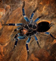 "Polubienia: 488, komentarze: 37 – Spiders❤️ (@_arachnophobia_) na Instagramie: """"Make you feel invincible"" ⚔️❤ #tarantula #tarantulalove #tarantulalover #tarantulas…"""