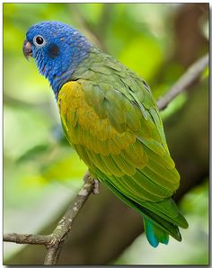 Pione à tête bleue (Piones menstruus) Blue-headed Parrot, found in tropical & subtropical South America & southern Central America, from Costa Rica, Venezuela & Trinidad, south to Bolivia & Brazil Pretty Birds, Love Birds, Beautiful Birds, Animals Beautiful, Cute Animals, Birds 2, Tropical Birds, Exotic Birds, Colorful Birds