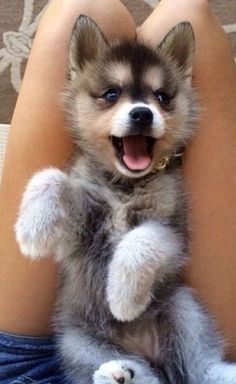Hopefully our next furry friend we will get an Alaskan Klee Kai pup! Cute Baby Animals, Animals And Pets, Funny Animals, Funny Dogs, Smiling Animals, Funny Humor, Cute Dogs And Puppies, I Love Dogs, Doggies