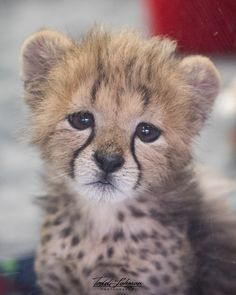 Cheetah cub sad face