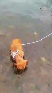 Dog left to die after cruel owner tied pooch to rock in rising river
