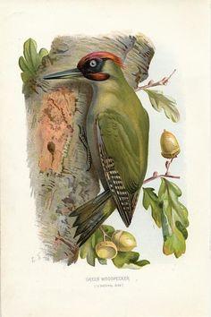 Green Woodpecker 1883 fine antique chromolithograph bird print