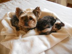 Anouchka et Gaïa, une histoire d'amour #chat #cat #chien #yorkshire #chambredhote #bandb #cute #mignon #tarn #castelnaudemontmiral #gaillac http://lamaisonduchai.com/accueil.html
