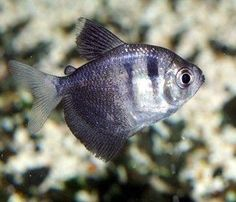Black Skirt Tetra - three inches - I have three of these in my 75 gallon aquarium.  They love schoaling together.  I enjoy them a lot as they are gentle.  They like to watch me while I am watching them.