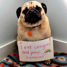 Dog shaming of pug                                                                                                                                                                                 More