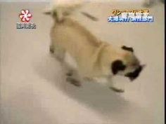 Just like a pug. sidenote: why do japanese shows sound so freaking crazy?
