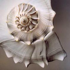 Gorgeous spiral of sea life. Foto Macro, Fibonacci Spiral, Ivy House, Patterns In Nature, Ocean Life, Sacred Geometry, Geometry Art, Sea Creatures, Belle Photo