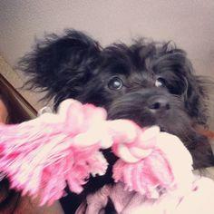 Wanna play? #primrose #primrosethedog #pom #pomlove #puppy #puppypal #playtime #Pomeranian #Pomeranianlove #pomsofinstergram #intagramdogs #intagrampets #instagrampuppy #intagrammaltipom #ilovemydog #ilovemyfurbaby #maltese #maltipom #maltipomlove #toy