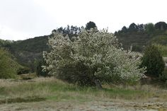 The apple tree that grows where no apple tree should be able to grow.