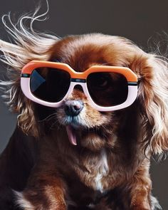 Stop it right now. Can you handle the cuteness that is Toast, a rescued Cavalier King Charles Spaniel and star of Karen Walker's new eyewear campaign?! I can't. I just can't.