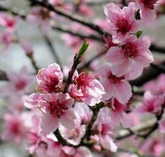Peach Blossoms, the Delaware State Flower...