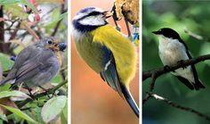 TESTI | Testaa, tunnistatko tavallisimmat kotipihan linnut
