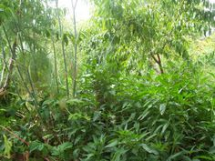 An untended (for about a month) food forest, showing how permaculture principles work. Australian.