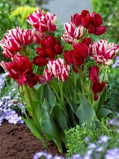A blend of tulip flowers in deep red and two toned red.....Fiery Affair