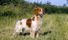 Brittany Dog Breed Information. photo: Mary Bloom. Breed Group: Sporting. Height: 17.5 to 20.5 inches at the shoulder. Weight: 30 to 45 pounds. Life Span: 12 to 14 years. The Brittany's medium size, wash-and-go coat, and happy, intelligent personality make him the perfect dog for an owner who will give him the exercise he needs -- or, even better, take him hunting. Brittanies learn quickly and joyfully and make excellent watchdogs