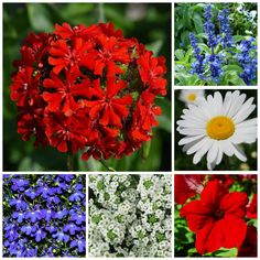 Add one of summer's brilliant blues to a red and white basket, box, or bed and enjoy an All-American themed summer planting from Memorial Day through the 4th of July.