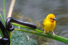 Yellow bird fromage Kenya