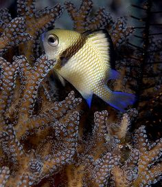 Little fish in purple coral