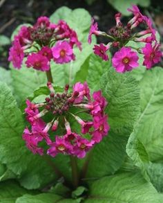 "Candelabra Primrose japonica Zone: 4a to 8b,at least Height: 18"" tall Culture: Part Sun to Light Shade grows in boggy wetlands...moist lakes edge..."