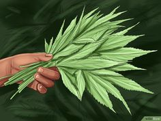 How to Trim Marijuana. Marijuana plants must be well cared-for and carefully harvested. Wear gloves and choose the time you trim your plants carefully. Trim the top off your plant to allow the leaves to get more light. Marijuana Leaves, Marijuana Plants, Buy Cannabis Online, Buy Weed Online, Healthy Liver, Yellow Leaves, What To Make, Natural Treatments, Gardens