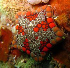 Biscuit Seastar (Tosia australis) Saspotato on Flickr