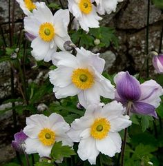 Anemone 'Ruffled Swan' - Hybrid Anemone - Anemone 'Ruffled Swan' is the tallest of the Swan series with spectacular, semi-double, white flowers with violet blue reverses on stems to 32 inches all summer. Geranium Macrorrhizum, Cottage Garden Plants, Garden Shrubs, Shade Garden, Fence Garden, Bamboo Garden, Flowers Perennials, Planting Flowers, Flowers Garden