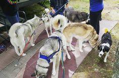 Eveyone said goodbye today. So any doggies. #bananathedog #bordercollie #bordercolliesofinstagram #bordercolliemix #husky #huskygram #huskiesofinstagram #siberianhusky #huskypics #dog #dogsofinstagram #dogs_of_instagram #dogsofig #pressrecord #pawrecord #gttsd #gonetothesnowdogs