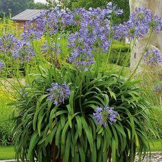 Afrikanische Schmucklilie - blau