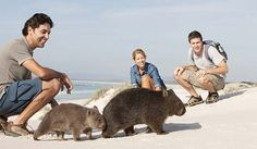 Bay of Fires Wombats in Tasmania. This is different, Wombats by the sea, did they have a swim, their fur is one of the cleanest of any mammal.