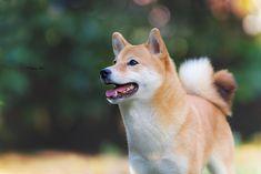 #dog #shiba inu
