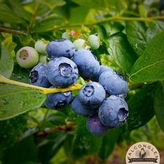 Just a reminder that we will be closed this Saturday, Sunday, and Monday (Sept 2nd, 3rd, and 4th) for the Labour Day long weekend so our hard-working staff can spend some well-deserved time off with their families. :) Also, we still have 30 lb boxes of frozen blueberries available! Get yours before we're sold out! You can pre-order via our website: http://falconglen.ca/buy-organic-blueberries/ #farmfresh #freshfrozen #Falconglen #certifiedorganic #blueberries
